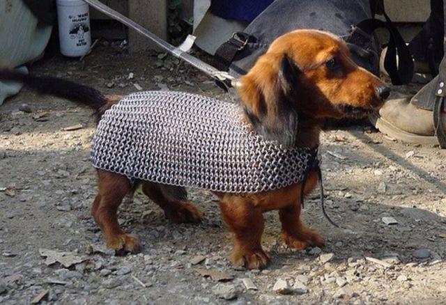 Cão vestido com uma malha de metal