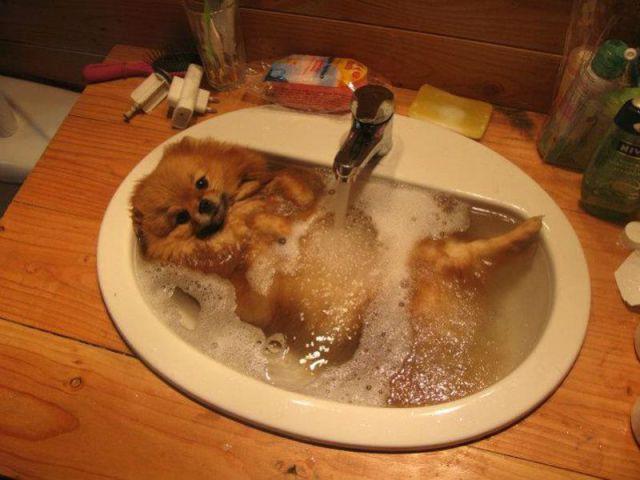 cachorro tomando banho na pia e age como um humano na banheira.