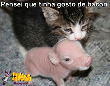 Gatoe porco